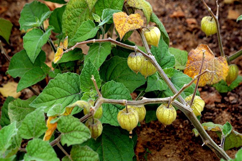 Размножение физалиса семенами