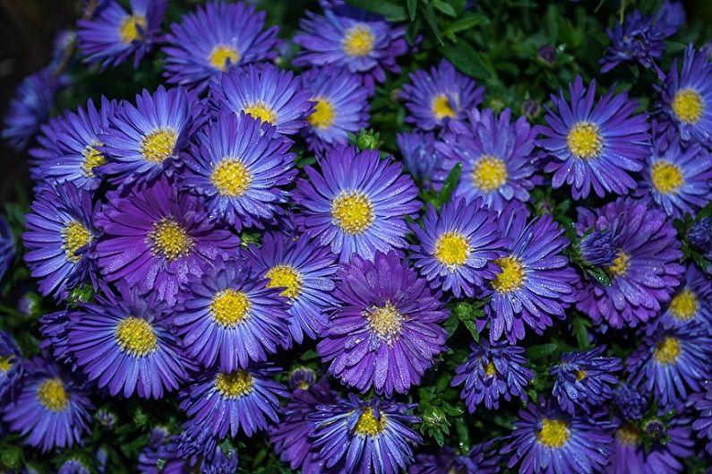 Многолетние астры - Виолетта