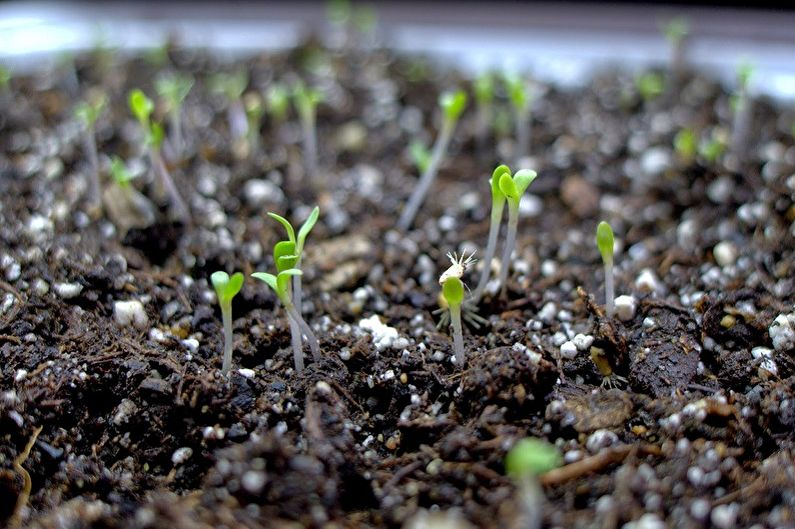 Размножение астры семенами