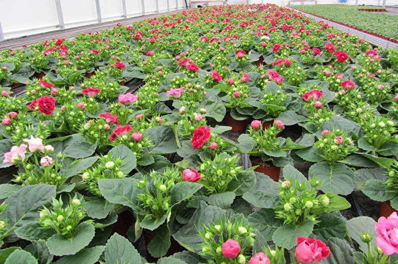 Глоксиния - Размножение семенами