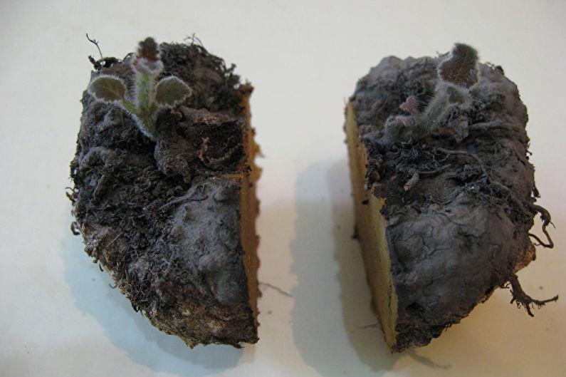 Глоксиния - Деление корня