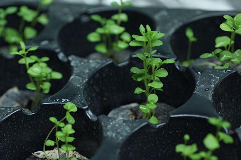Размножение лаванды семенами