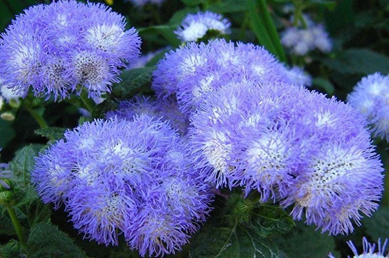 Агератум - Голубая норка