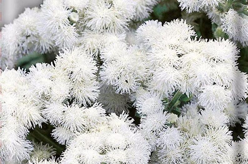 Агератум - Белый шар
