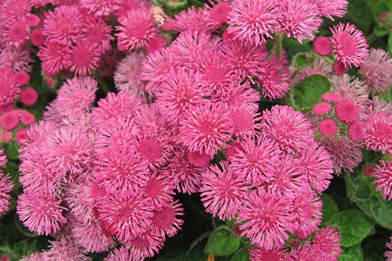 Агератум - Розовый огонь
