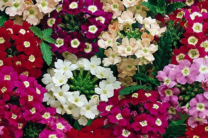 Вербена крупноцветковая