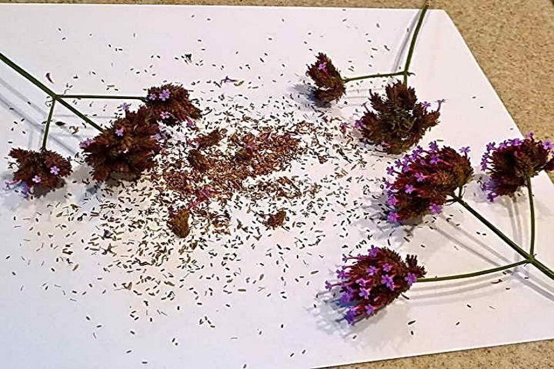Размножение вербены семенами