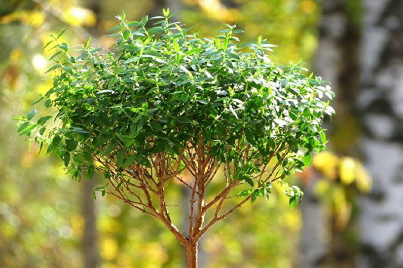 Миртовое дерево - Месторасположение и освещение