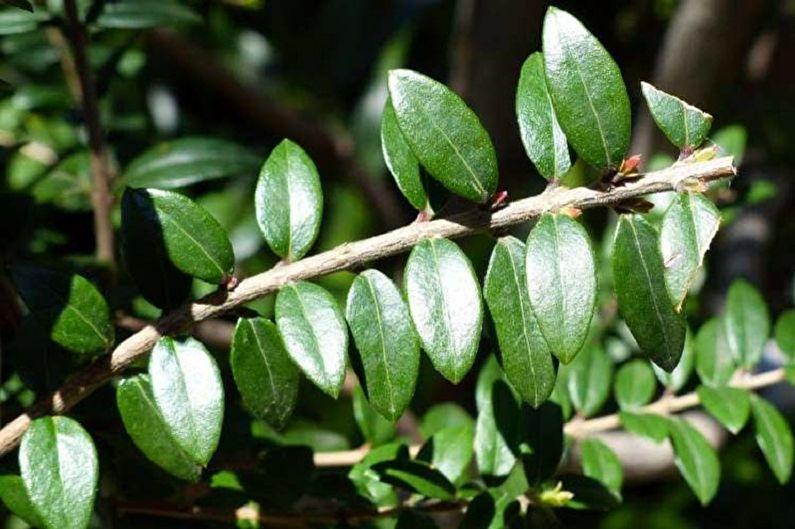 Миртовое дерево - Подкормка и обрезание