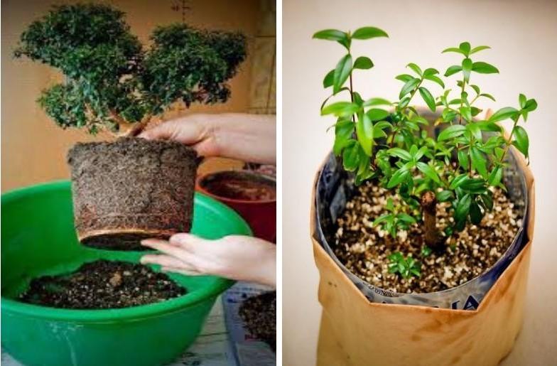 Размножение и пересадка миртового дерева