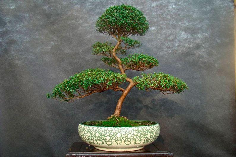 Миртовое дерево - фото