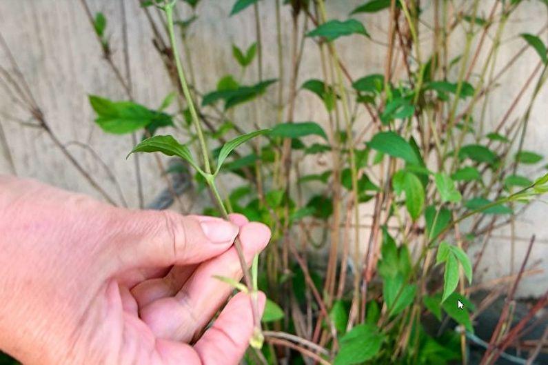 Вегетативное размножение клематиса