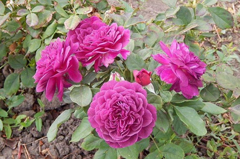 Роза Флорибунда - фото