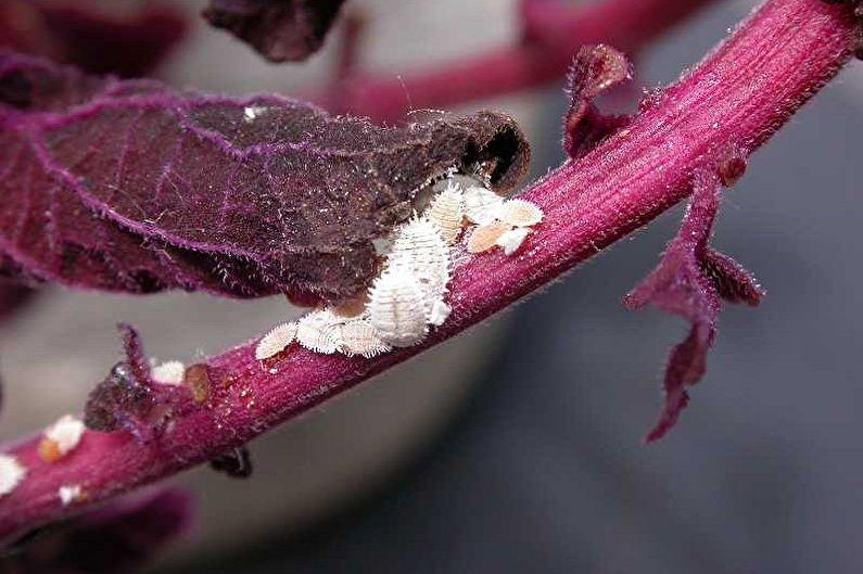 Колеус - Борьба с вредителями и заболеваниями