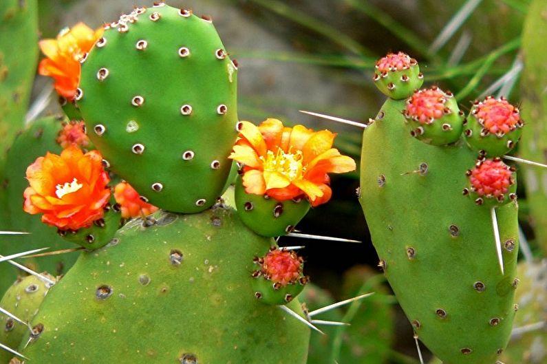 Домашние кактусы - Опунция