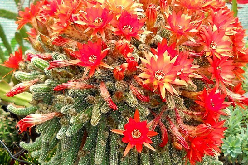 Домашние кактусы - Хамецереус Сильвестри