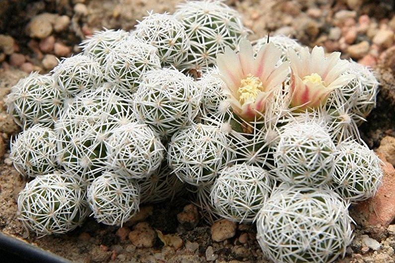Домашние кактусы - Маммилярия