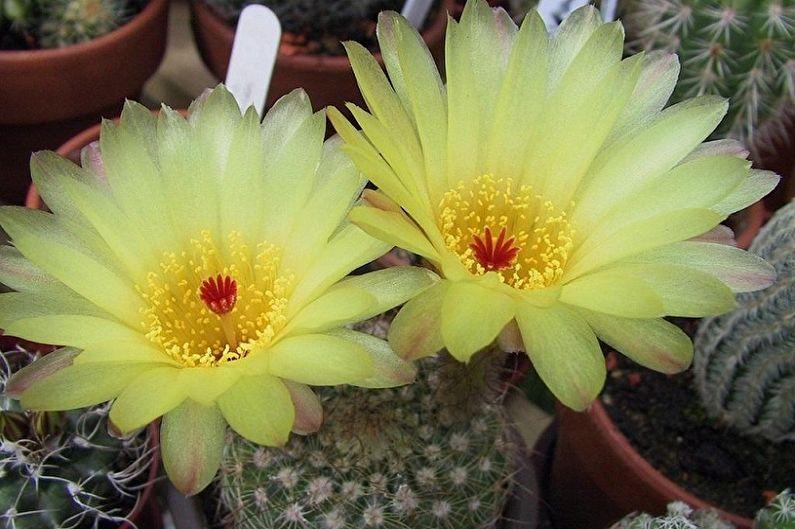 Домашние кактусы - Нотокактус