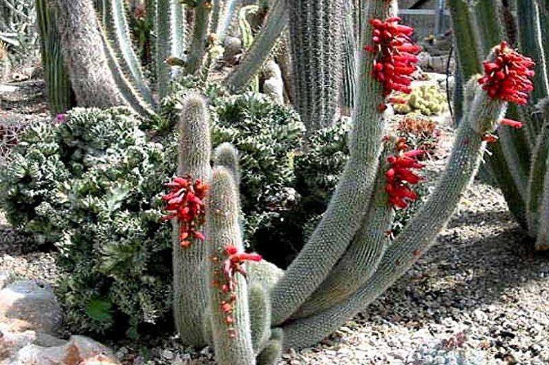 Домашние кактусы - Клейстокактус Штрауса