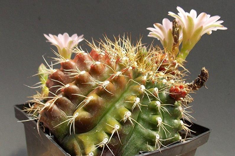 для фотогалерея домашних кактусов буквальном
