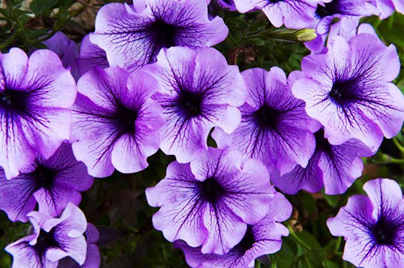 Петуния (65 фото): советы по выращиванию и уходу за цветком