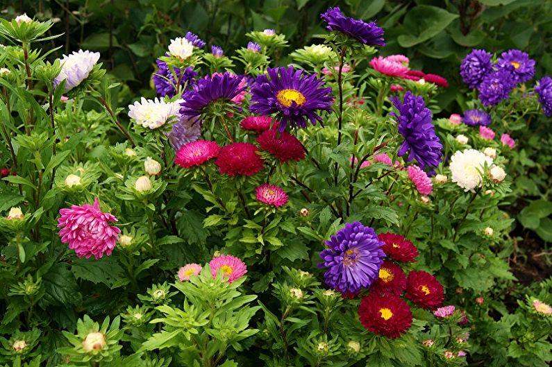 Астры (90 фото цветов): описание, виды и уход