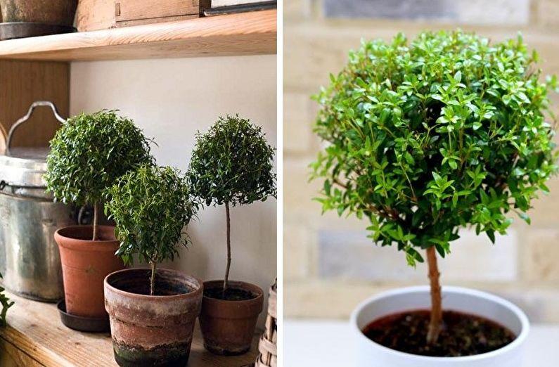Миртовое дерево (50 фото): выращивание и уход