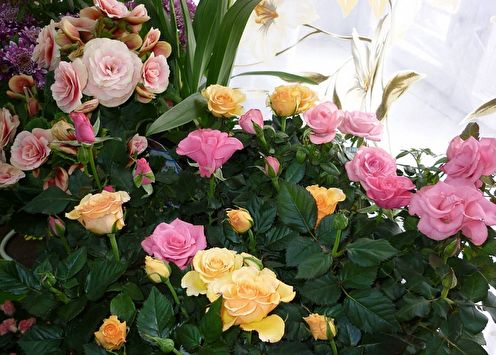 Комнатная роза (80 фото): виды, выращивание и уход