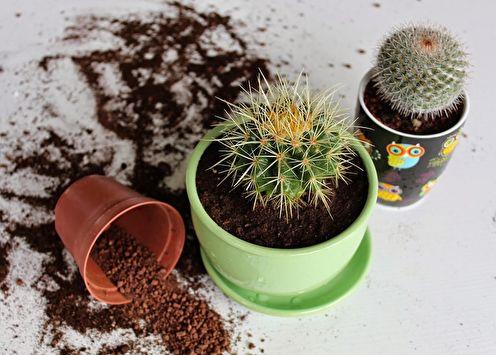Домашние кактусы (90 фото): виды, уход и полив