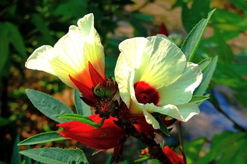 суданская роза фото анатомической
