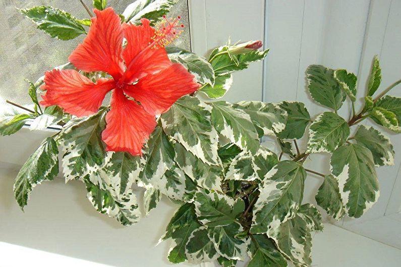 гибискус с пестрыми листьями фото