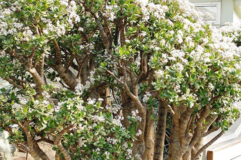 Денежное дерево (толстянка) - Общая характеристика