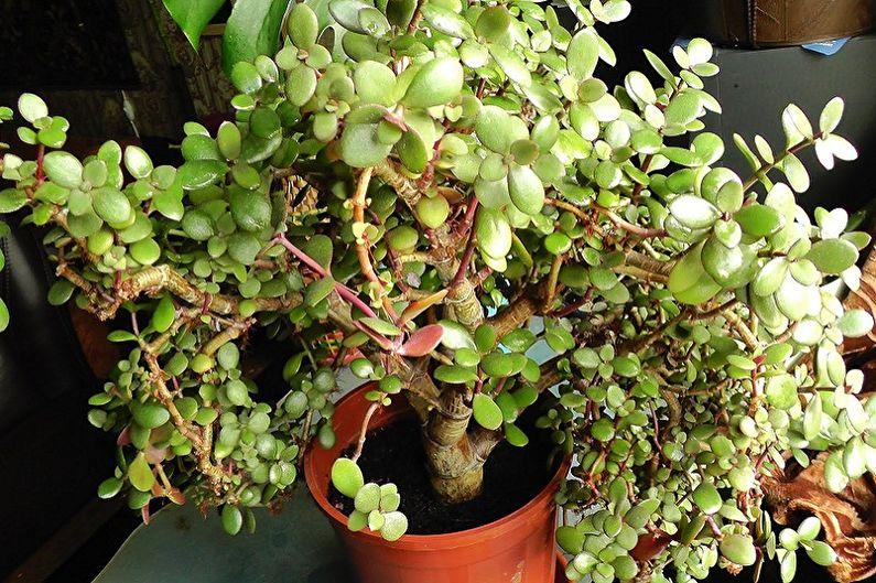 Денежное дерево (толстянка) - фото