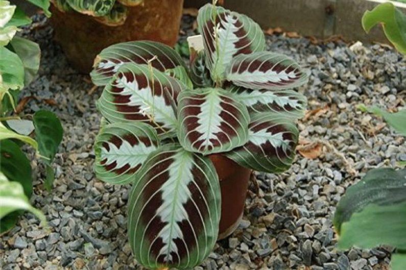 Маранта: виды и сорта капризного растения | Огородники | 529x795