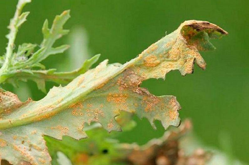 Цинерария - Борьба с вредителями и заболеваниями