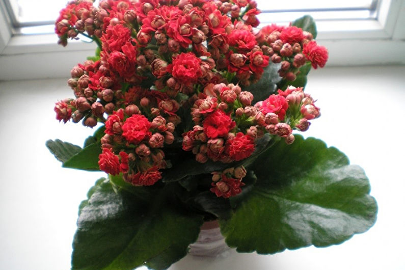 Метельчатоцветковое каланхоэ