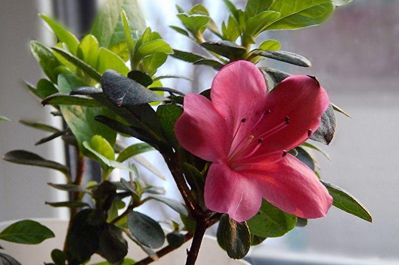 Рододендрон (азалия) - Общая характеристика