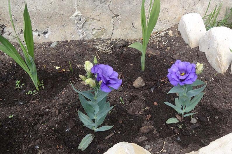 Как выращивать эустому (лизиантус)