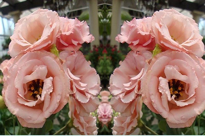 Эустома (лизиантус) - фото