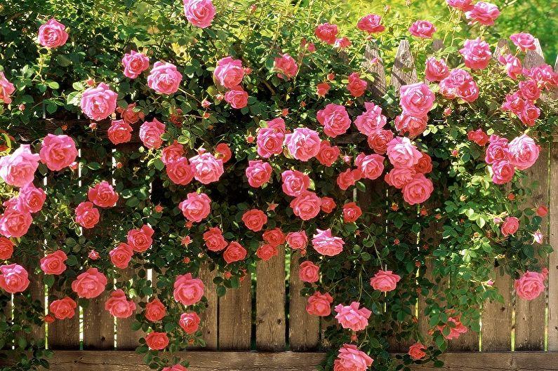 Остинки: новое слово в селекции роз