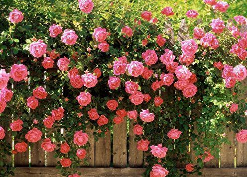 Английская роза (85 фото): виды и сорта, уход