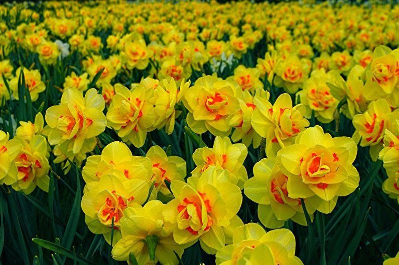 Многолетние цветы для дачи и сада - Нарциссы