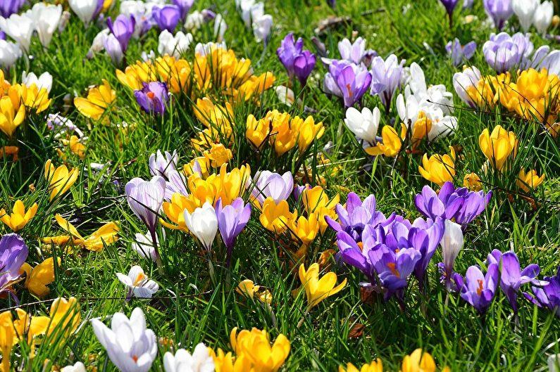 Многолетние цветы для дачи и сада - Крокусы