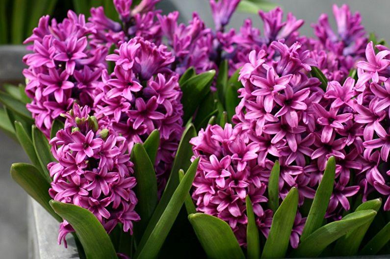 Многолетние цветы для дачи и сада - Гиацинты
