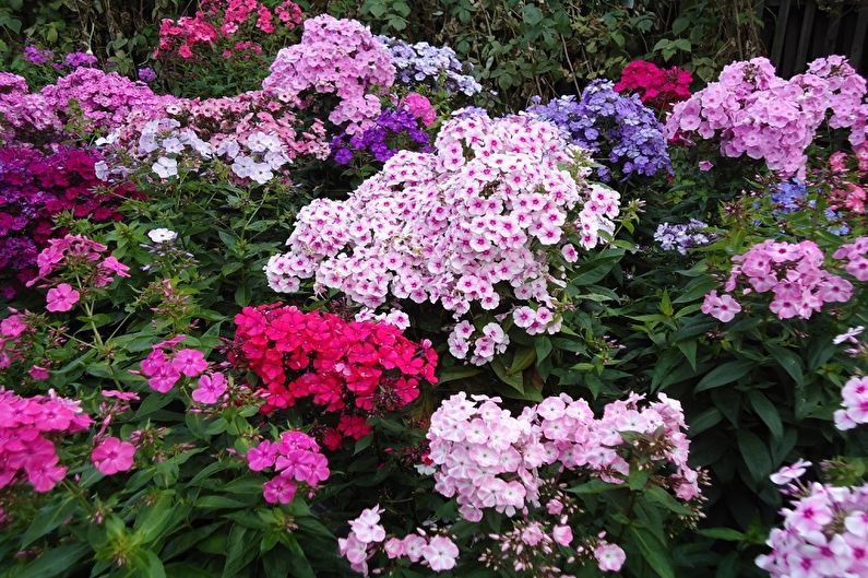 Многолетние цветы для дачи и сада - Флоксы