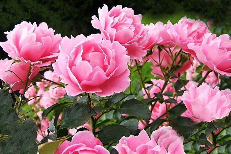 Многолетние цветы для дачи и сада - Пионы