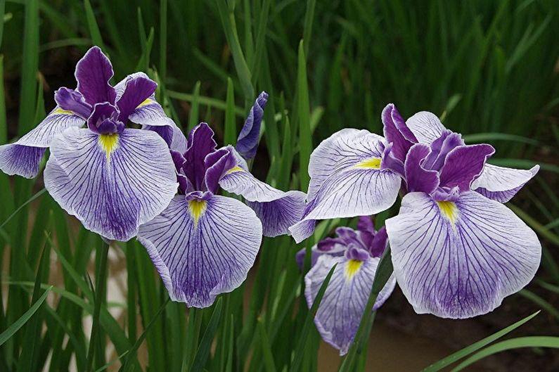 Многолетние цветы для дачи и сада - Ирисы