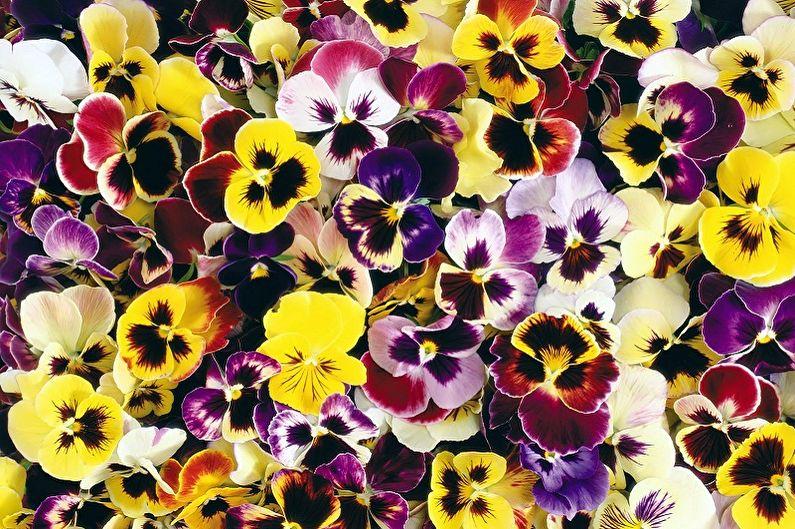 Многолетние цветы для дачи и сада - Анютины глазки