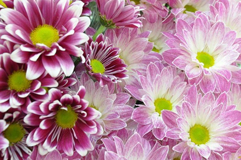Многолетние цветы для дачи и сада - Хризантемы