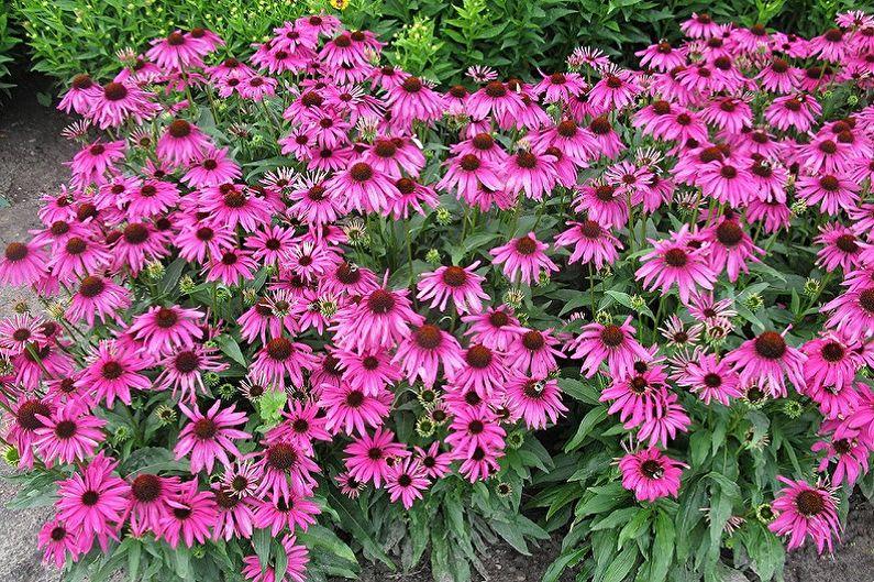 Многолетние цветы для дачи и сада - Эхинацея
